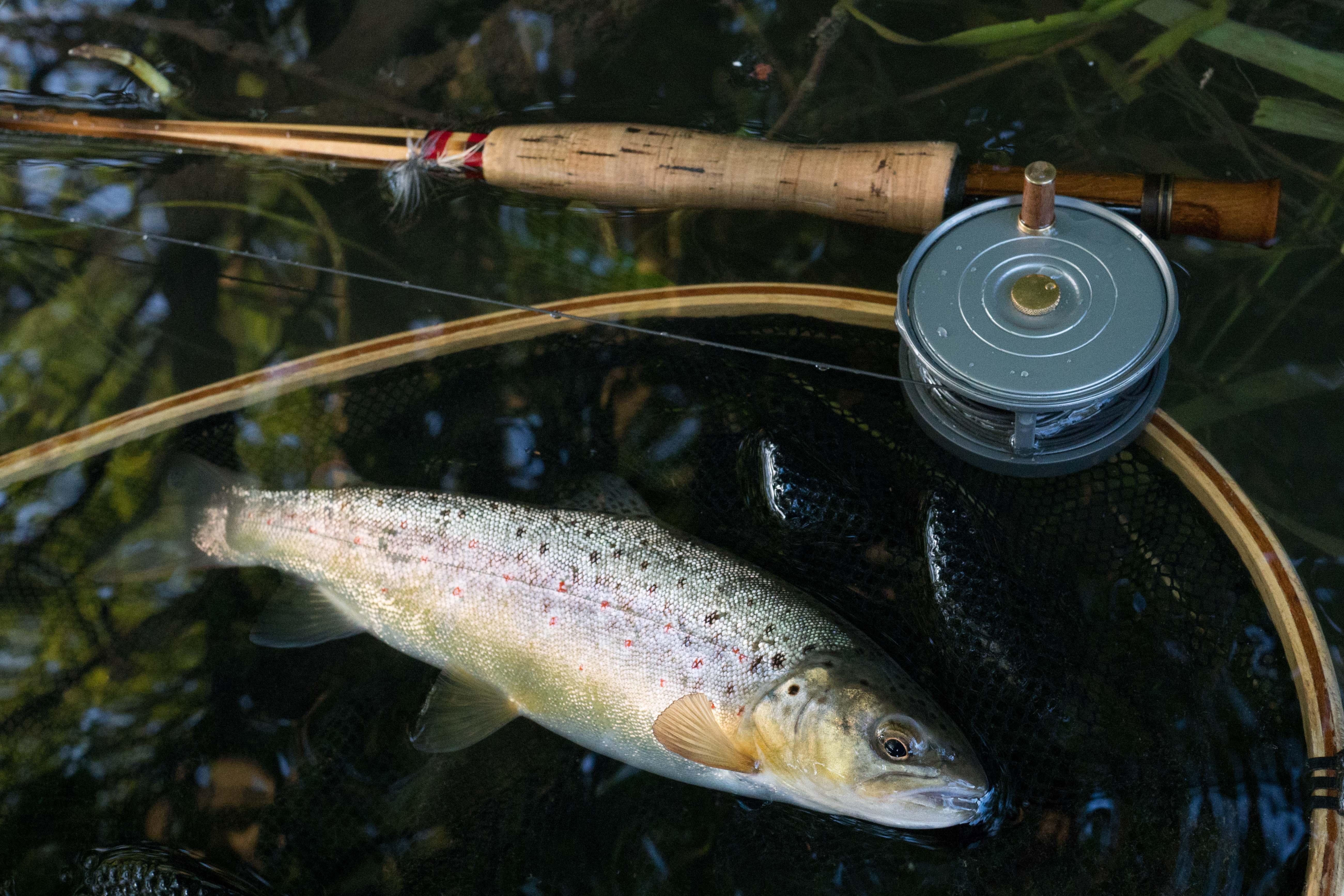 trout cane rod